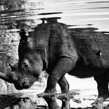 Wildlife Black & White