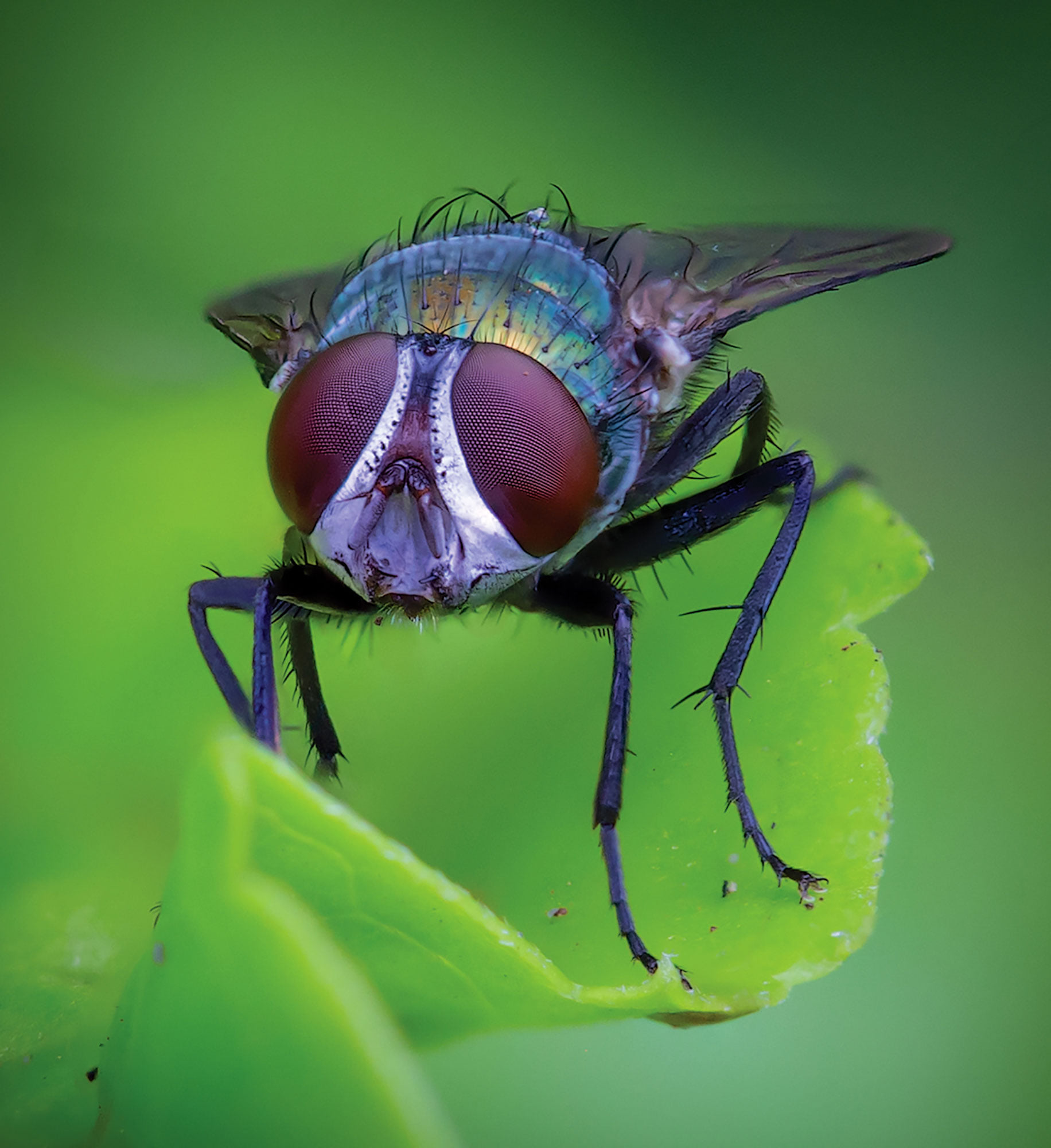Hein Waschefort- green fly